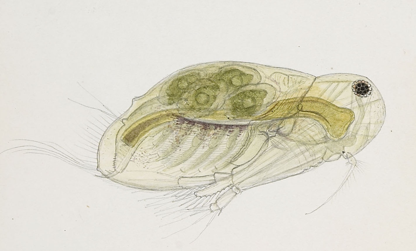 Acantholeberis curvirostris   The Microscopic Life of