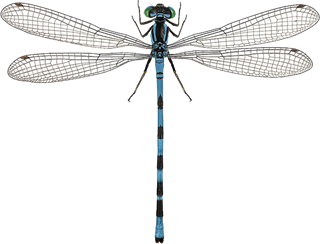 : Coenagrion hastulatum.